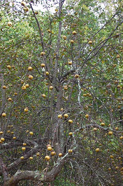 Russet apple tree in the wild